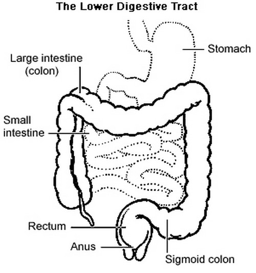 A closer look at the lower gastrointestinal tract.photo