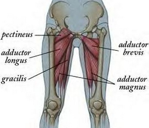 The different muscles of the thigh.image
