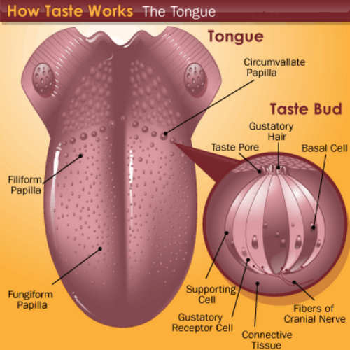 The human anatomy of the tongue.photo