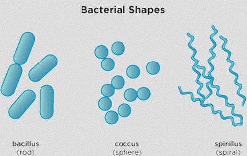 A photo showing the three common shapes of bacteria picture
