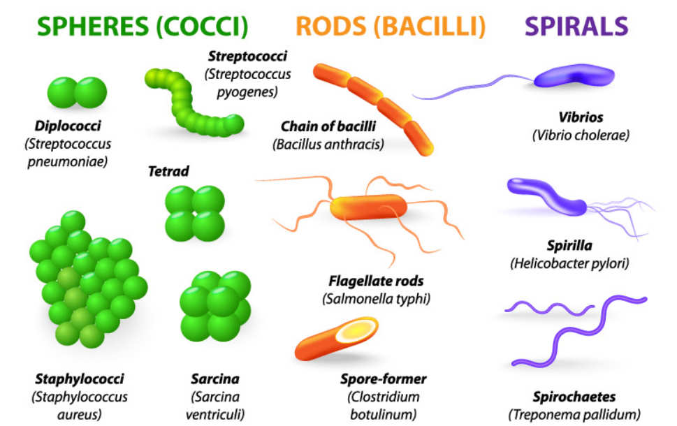 Bacteria Shapes chart images pictures
