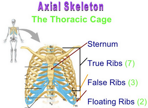 The human ribs outlining the true ribs, false ribs, and floating ribs.image